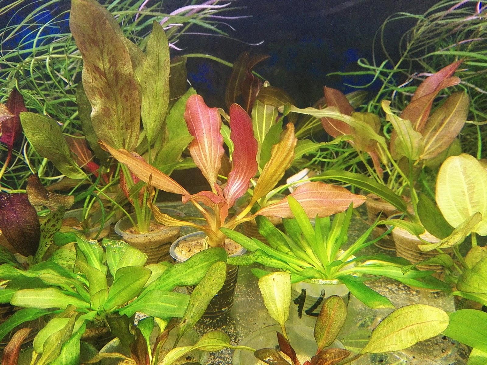 rote mamba echinodorus