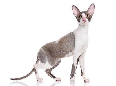 Cornish Rex Cat