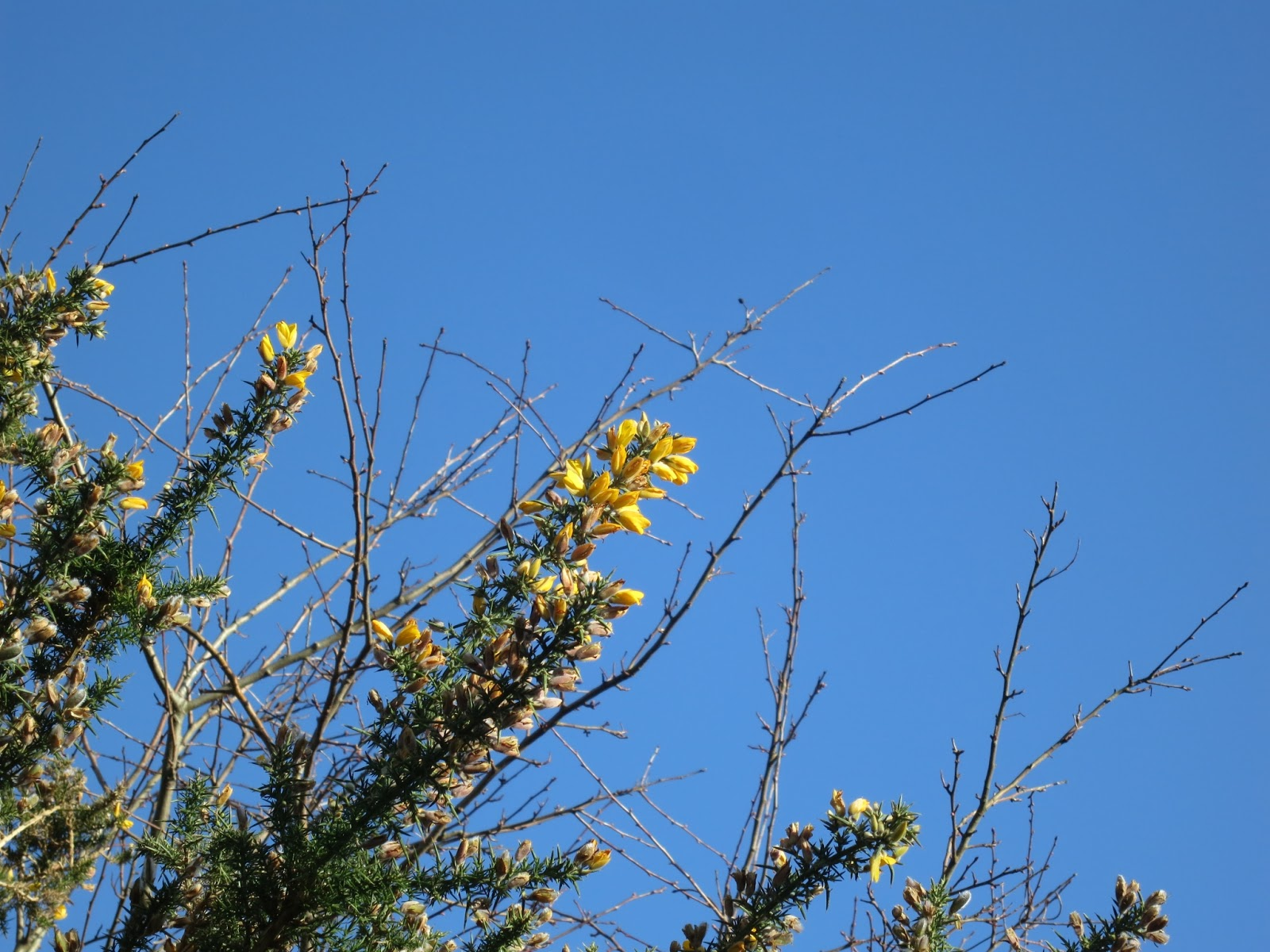 Yellow gorse flowers, bare hawthorn twigs, blue sky