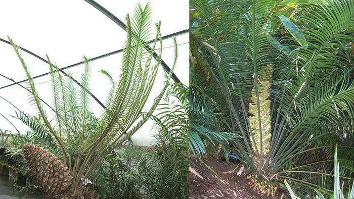 Genus Lepidozamia, genus zamia, chigua cycad, zamia male cone, zamiaceae vs cycadaceae, microcycas calocoma sale, zamia reproduction, macrozamia reidlii, macrozamia queensland
