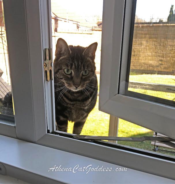 tabby cat peeping through open window
