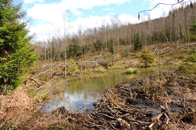 Beaver dams of La-Roche-en-Ardenne Things to do in Wallonia