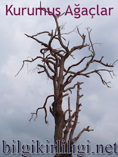 Ömer Seyfettin Kurumuş Ağaçlar Özeti Kapak Resmi