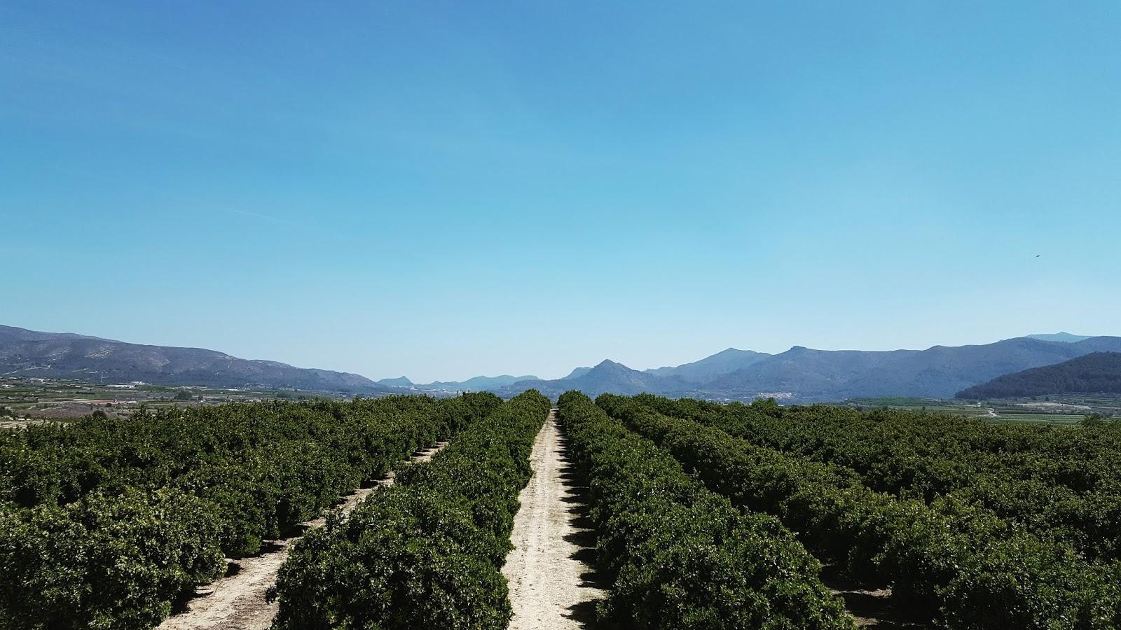 Orange groves in the Valencian Community, Spain