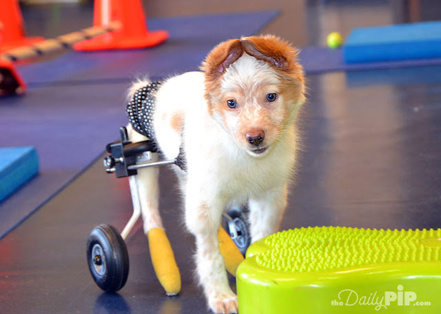 LaCroix was born with Spina Bifida but is an otherwise happy, smart, typical puppy who deserves to be adopted and have a happy life