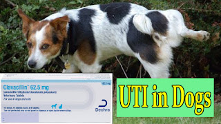 clavacillin-for-dogs-UTI-urinary-tract-infection