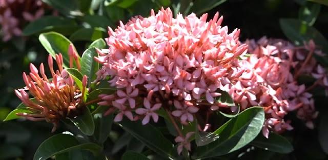 Hoa trang hồng sen nở rộ tại Làng hoa Sa Đéc
