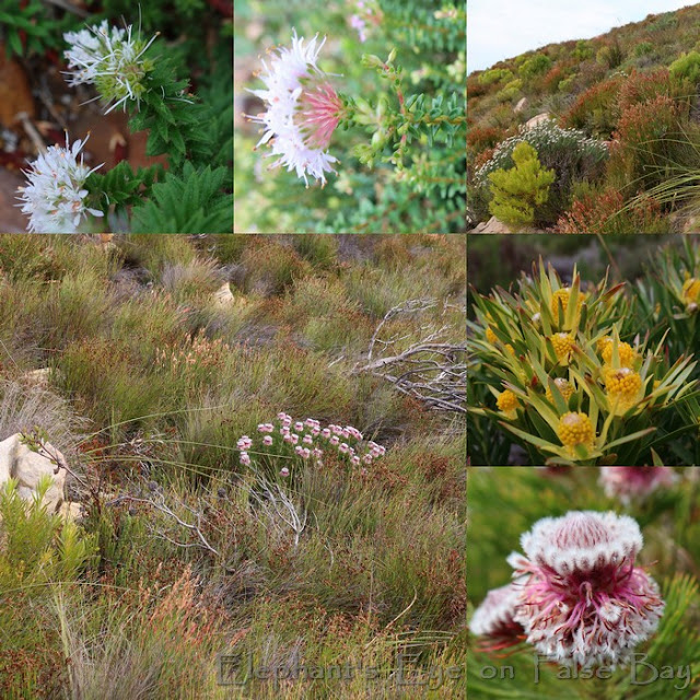 Swartkop in August for Serruria hirsuta