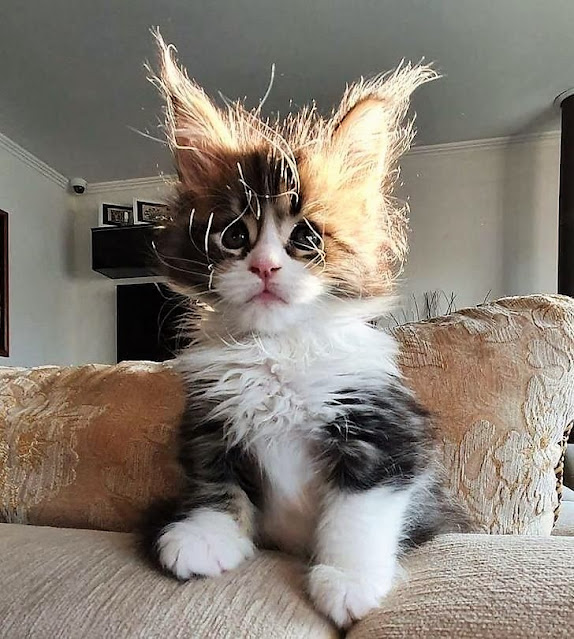Young Maine Coon looks like he's been plugged into the electricity supply