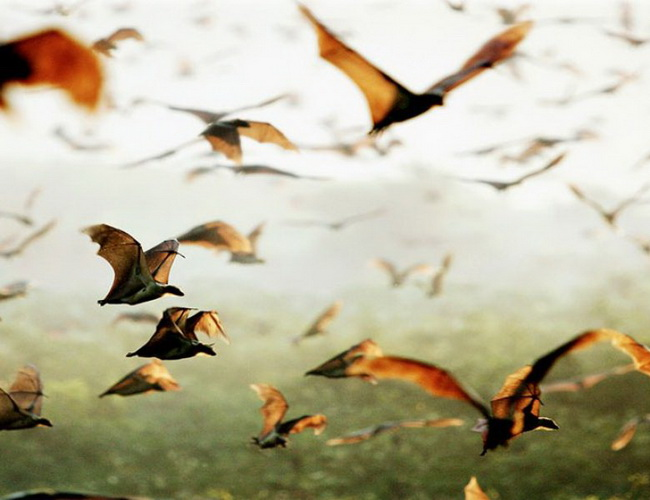 Xvlor Kasanka National Park is spectacular migration of Eidolon helvum bat