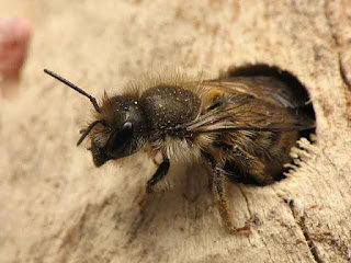 Osmia cornifrons at nest's entrance.