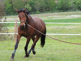 Bay horse being lunged in a field