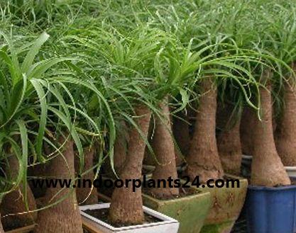 beaucarnea%2Brecurvata%2Bplant%2Bphotos Beaucarnea Recurvata House Plant on