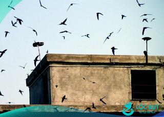 Chim yến chơi quanh nhà yến.