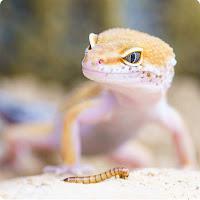 Healing vs Regeneration Gecko image