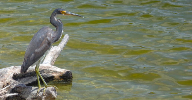 Tri-colored heron on the lake