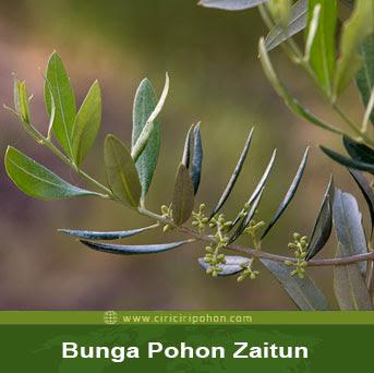 ciri ciri pohon bunga zaitun
