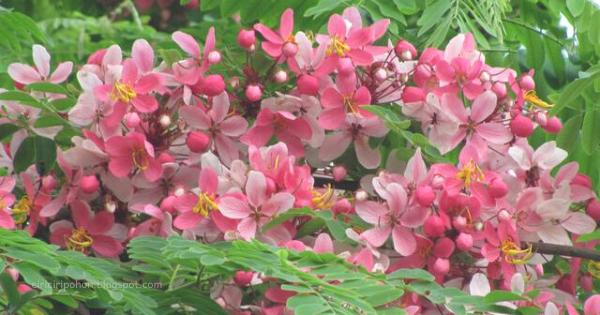 Carissia javanica