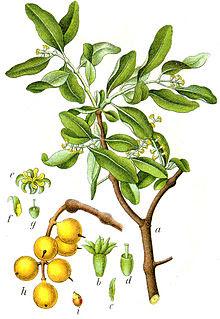 Klasifikasi Benalu : klasifikasi, benalu, About, Biology., Darwis:, Benalu, (Loranthus