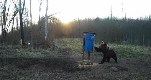 Lācis mēģina dabūt ēdienu no barotavas