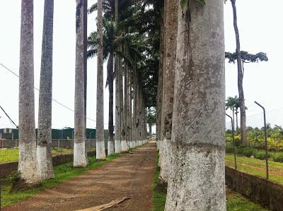 Paseo de  las palmeras, seña identificativa de la entrada a la finca Sampaka