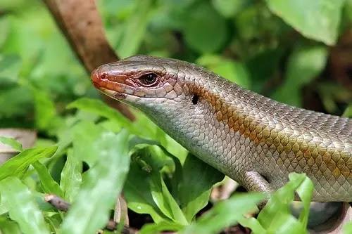 gambar kadal kebun