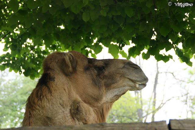 Anche i dromedari e i cammelli sono presenti nel Parco Safari delle Langhe