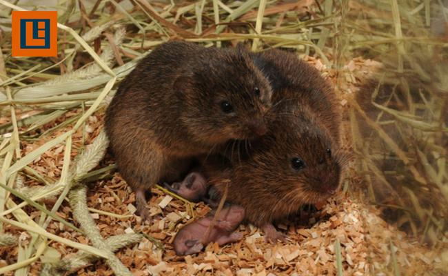 Tikus Padang Rumput