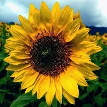 सूर्यफूल, Sunflower Flowers Name In Marathi