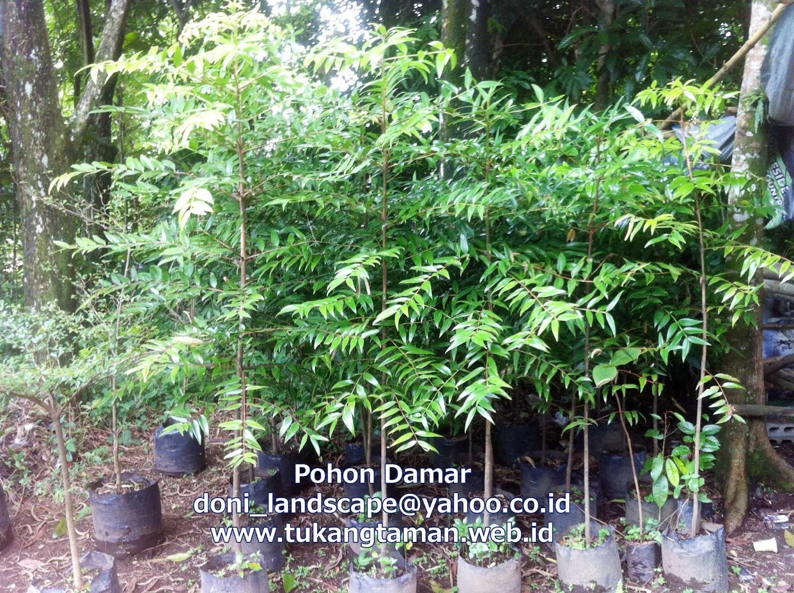 Jual Bibit Pohon Damar Agathis Dammara Tukang Taman
