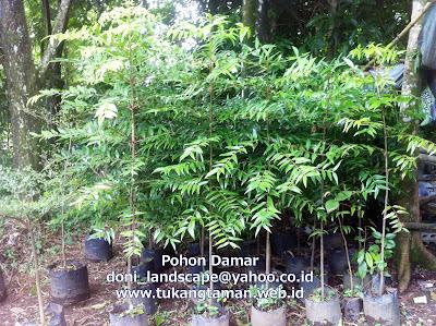 Jual Bibit Pohon Damar | Agathis dammara