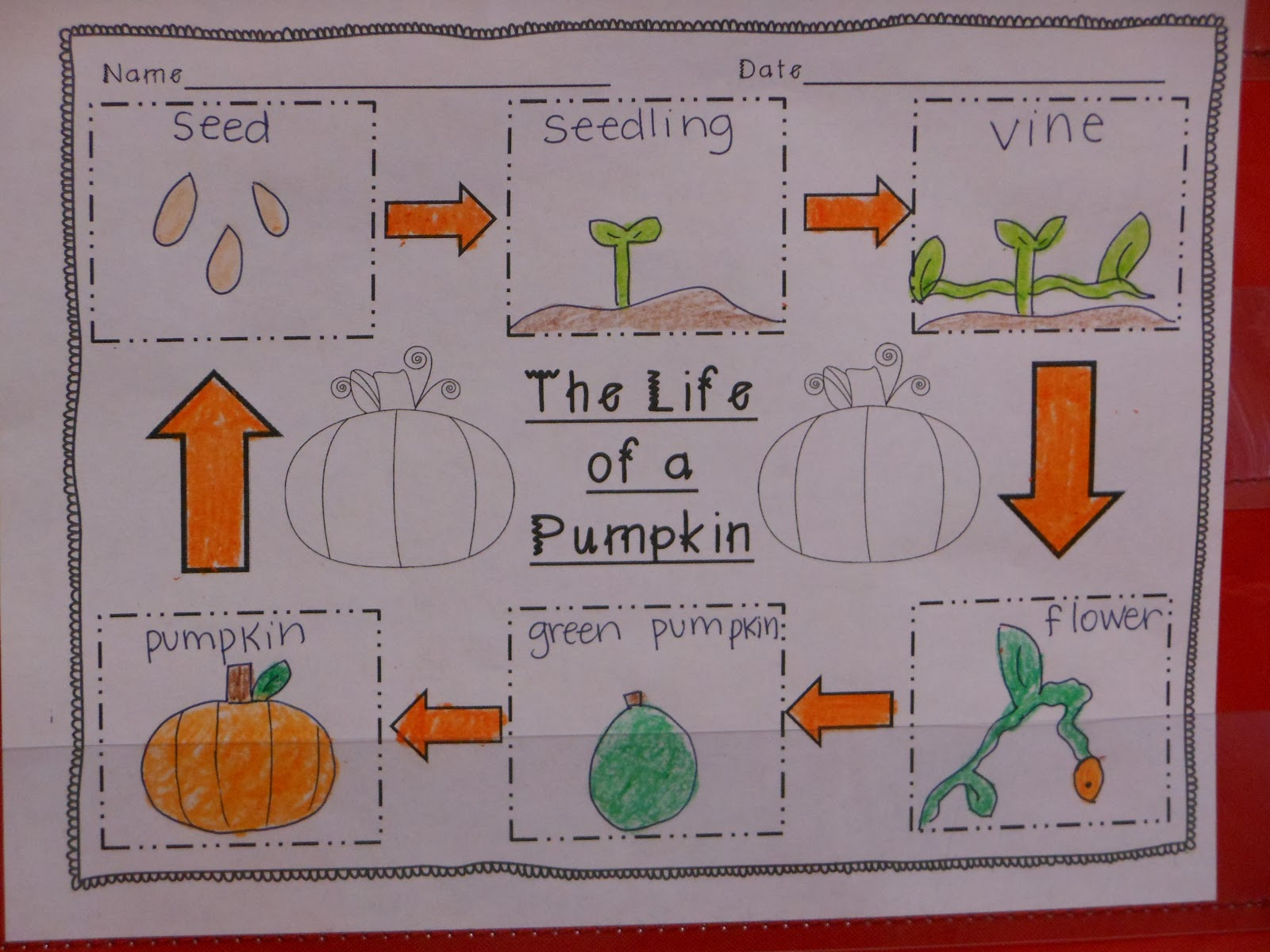 for the love of first grade: the great pumpkin investigation pumpkin life cycle diagram of