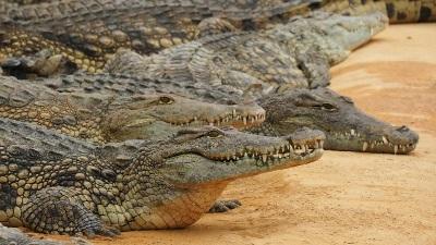 Fogakkal és karmokkal könyv, nílusi krokodil