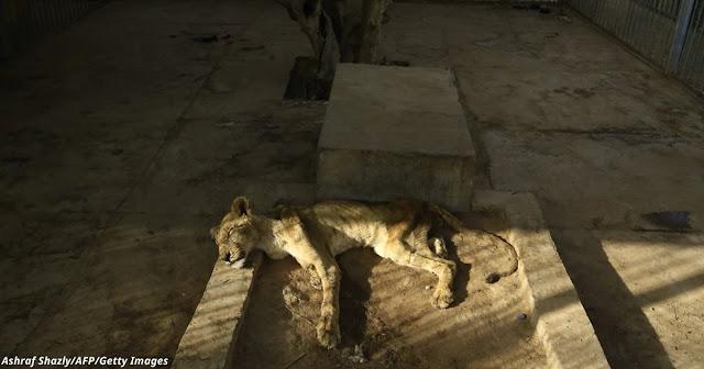 Львы умирают от голода в зоопарке Судана!!!