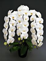 Bir saksıda beyaz çiçekli orkide