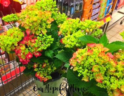 hydrangea bushes in pots
