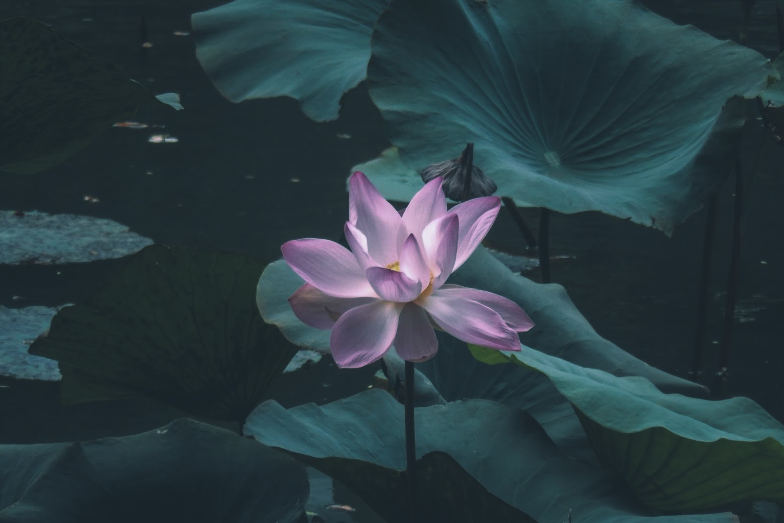 100+ Most Beautiful Lotus flower's : HD Images Free Download
