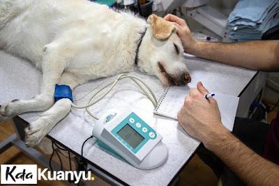 Cara mengobati luka anjing yang berulat