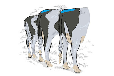 Cow tail marking for AI