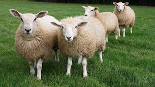 Domba(biri-biri)