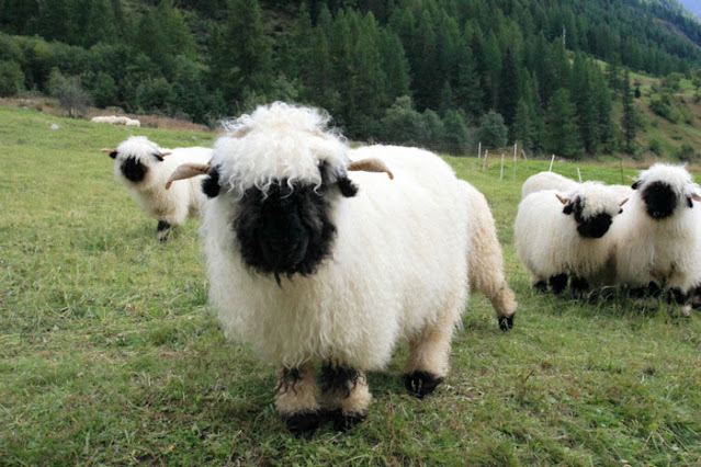 Valais Black-Nose Swiss Sheep