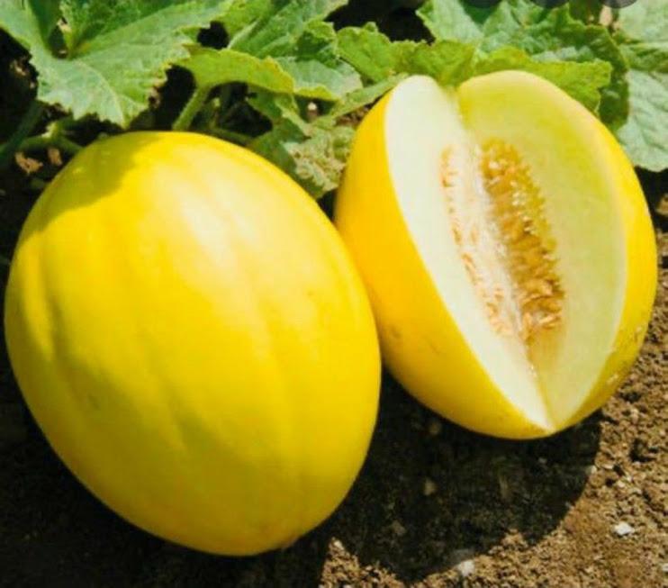 Benih Buah Melon Golden Canary Daily Farm Malang