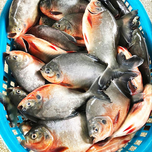 Supplier Jual Ikan Bawal Bibit & Konsumsi Tanjung Pinang, Kepulauan Riau Terlaris