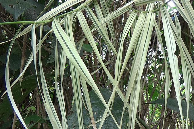 Dlium Giant reed (Arundo donax)