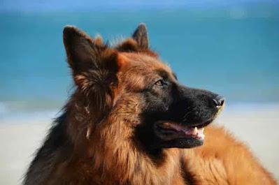 كلب الراعي الألماني  مخلص ونشط للغاية