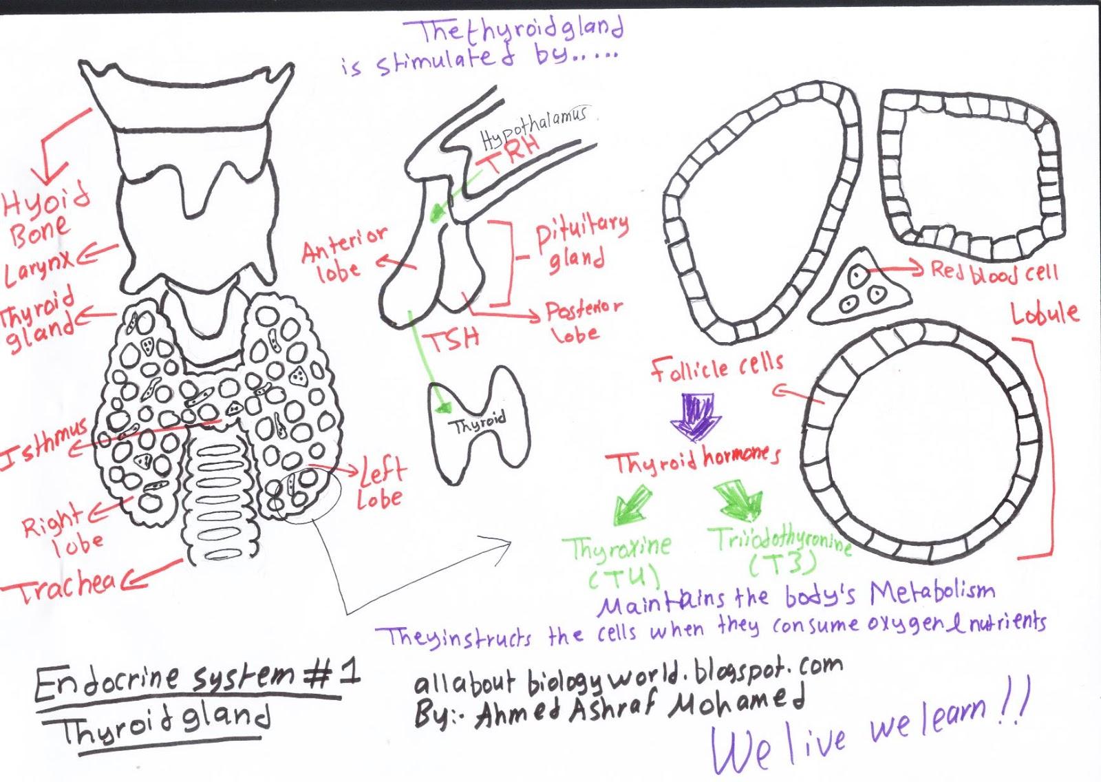 medium resolution of thyroid gland in a nutshell
