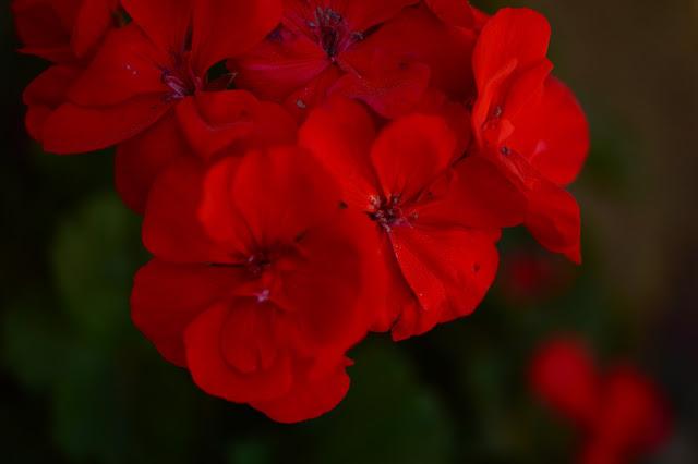 pelargonium, geranium, amy myers, small sunny garden, desert garden,