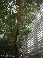 Sausage tree, a jungle plant - Kyoto Botanical Gardens Conservatory, Japan