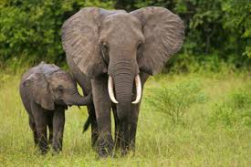 Elephants - should not be used for tourist rides