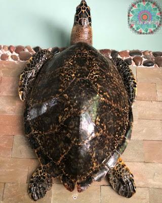 Bề ngoài đồi mồi tương đối giống các loài rùa biển khác